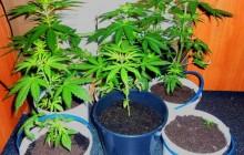 Oświęcim ? Chełmek: Policjanci zabezpieczyli ponad tysiąc porcji narkotyku i kilka sadzonek konopi indyjskich