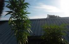 Nowy Sącz: Uprawiał konopie indyjskie na dachu budynku