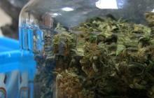 Pseudokibic zatrzymany z marihuaną. Miał ponad 700 porcji narkotyku