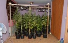 Kolejny cios w narkobiznes - 2.5 kilogramy marihuany i 82 krzewy konopi w rękach policjantów