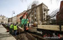 Zarząd Zieleni Miejskiej nasadza drzewa na wyremontowanym odcinku ulicy Rajskiej [ zdjęcia ]