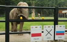 Słonica CITTA znowu wskazała wygraną Biało - Czerwonych