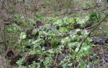Miechów: U 51-letniego mężczyzny znaleziono susz konopi indyjskich a także kilkadziesiąt kilogramów słomy makowej