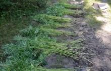 Prawie 2,5 tys. krzaków konopi indyjskich. Zlikwidowana plantacje na terenie powiatu nowotarskiego