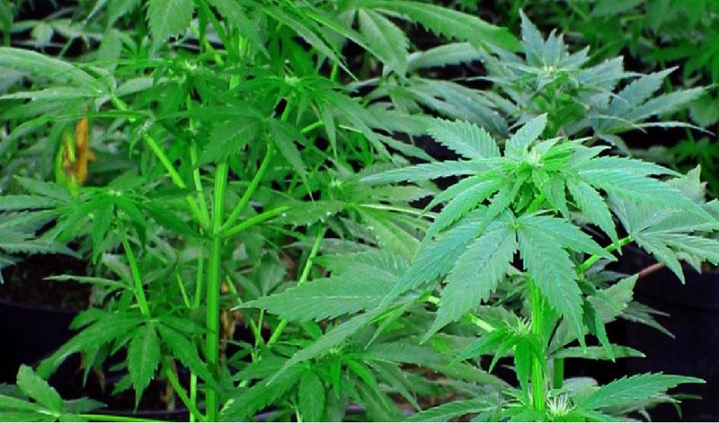 Rodzina zgłosiła zaginięcie, a 37-latek uprawiał w lesie ... marihuanę